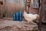 Chicken crashes liquid soap scene...