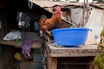 This rooster bedeviled me every time I was working in the family compound--notice that he is about to tip over the bowl with his foot...